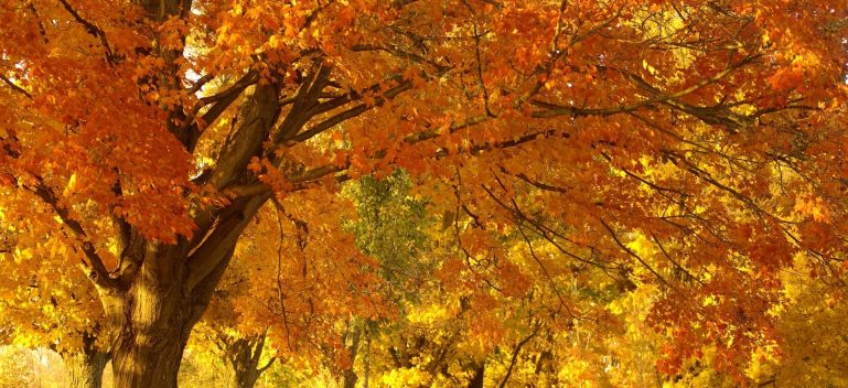 trees in fall with orange leaves